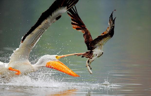 Imagem feita pelo fotógramo John Qiu mostra o momento em que um pelicano tenta roubar o peixe capturado por um exemplar de águia-pescadora (Foto: John Qiu/Caters News/The Grosby Grou)