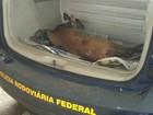 Cervo atropelado na BR-158 é resgatado pela PRF em Pejuçara, RS