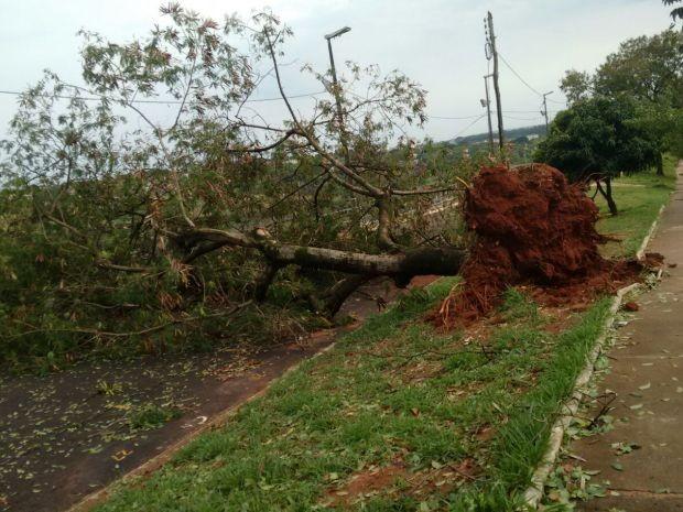 Árvore foi arrancada pela raiz (Foto: Adão Linhares / Arquivo Pessoal)