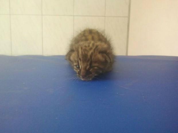 Animal foi levado para clínica veterinária em Piraju (Foto: Adolfo Lima / TV TEM)