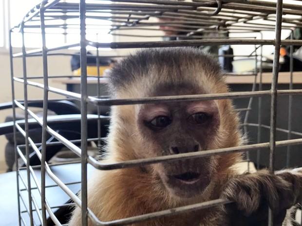 Macaco-prego foi encaminhado para Centro de Triagem de Animais Silvetres na Grande João Pessoa (Foto: Walter Paparazzo/G1)