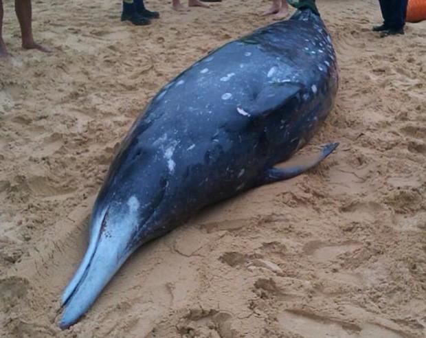 Foto mostra baleia-bicuda, que apareceu encalhada e morta na praia Redhead, a cerca de 150 quilômetros de Sydney, na Austrália  (Foto: AFP Photo/ORRCA/Elise Bailey)