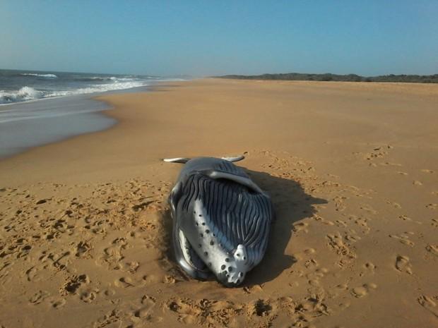 Baleia morta é encontrada em praia de Vila Velha, Espírito Santo (Foto: Petrus Romagna/ Foto leitor - A Gazeta)
