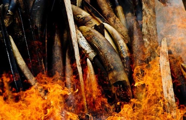 Fogueira feita com marfim em Libreville, no Gabão (Foto: WWF-Canon / James Morgan via AP Images)