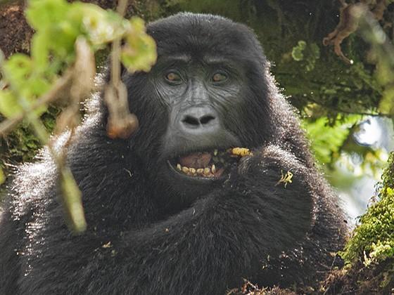 Avistamos nosso primeiro gorila-das-montanhas, comendo no topo de uma árvore. (Foto: © Haroldo Castro/Época)