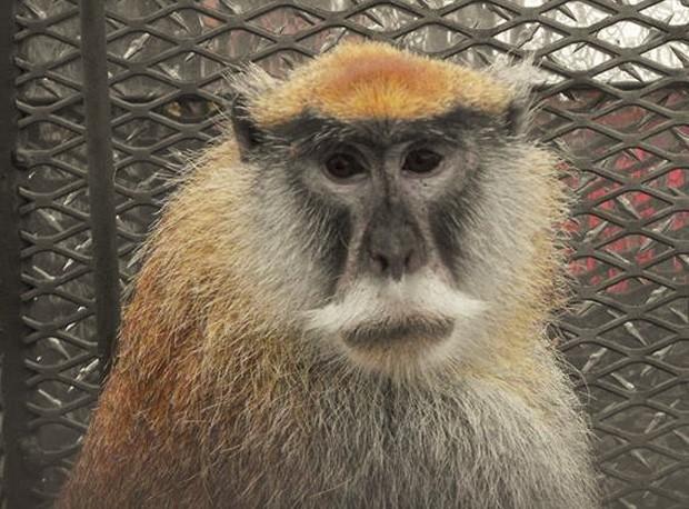 Macaco-pata foi capturado após mais de 1 ano e meio de perseguição por pelo menos 4 cidades diferentes (Foto: Reprodução/Facebook/FWC)