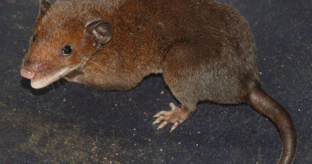 Cientista descobre quatro novas espécies de mamíferos no Brasil