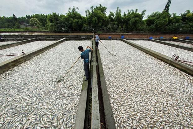 Fazendeiros da região de Sichuan, na China, trabalham nesta segunda-feira (9) para recolher mais de 400 toneladas de peixes que foram encontrados mortos em mais de 55 viveiros. Representantes do departamento ambiental da região disseram que não encontraram poluição industrial nos tanques. A imprensa local alega que os peixes morreram por insuficiência de oxigênio na água (Foto: Reuters)