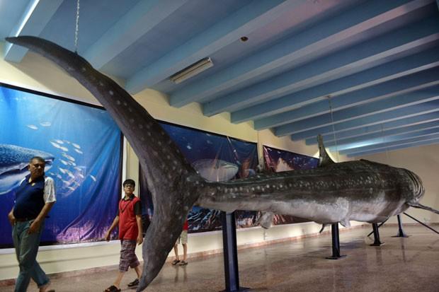 Tubarão-baleia de 12,2 metros de comprimento empalhado virou atração no Museu de História Natural do Paquistão  (Foto: Aamir Qureshi/AFP)