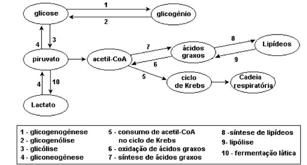 O que acontece em cada etapa do metabolismo (Foto: Colégio Qi/Reprodução)