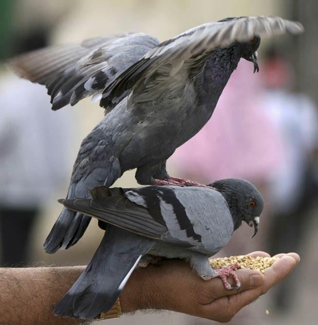 Grupo usava pombos para traficar drogas é desarticulado na Argentina (Foto: Krishnendu Halder/Reuters)
