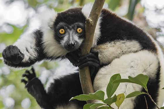 As vocalizações do varecia permitem que caçadores acabem sabendo onde estão os animais  (Foto: © Haroldo Castro/ÉPOCA)