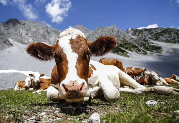 Junto a outras 'colegas', uma vaca 'encarou' o fotógrafo deitada em frente à montanha Hafelekar, na cidade de Innsbruck, na Áustria (Foto: Dominic Ebenbichler/Reuters)