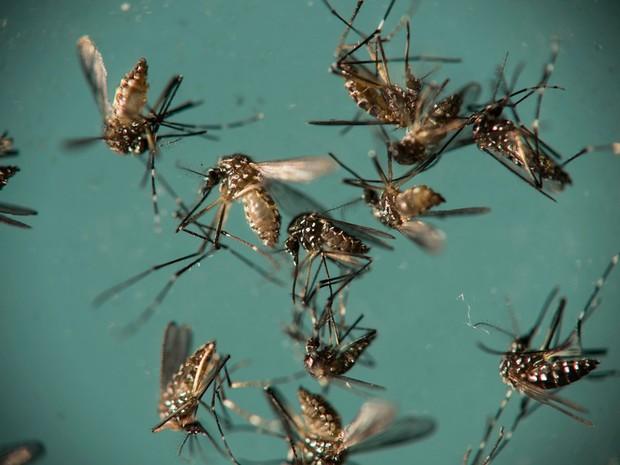 Mosquito Aedes aegypti é responsável pela transmissão de dengue, zika e chikungunya (Foto: Felipe Dana / Arquivo / AP Photo)