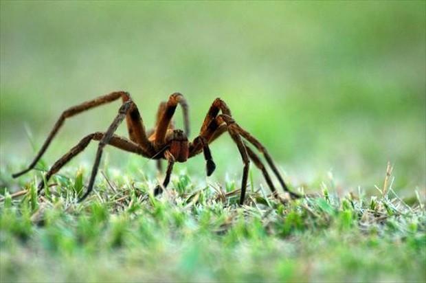Pesquisa estuda substância sintética baseada em veneno de aranha para tratar disfunção erétil (Foto: Arquivo TG)