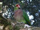 Papagaio de peito roxo, comum no Brasil, está sob grave ameaça