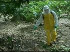 Biofungicida é aposta para combater doença em lavouras de cacau