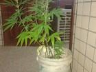 Mulher é presa com plantação de maconha dentro de casa em Macapá