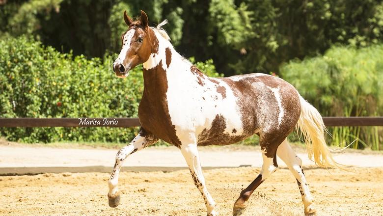 cavalo-Matriz Zelândia  (Foto: Marisa Iorio/Divulgação)