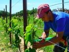 Cultivo de uva vira aposta de agricultores do Rio Grande do Norte