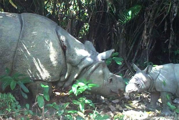 Filhote de rinoceronte de java é visto no parque nacional de Ujung Kulon, na Indonésia (Foto: Divulgação/Parque Nacional de Ujung Kulon)