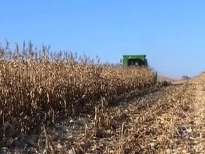 Colheita de milho em MS (Foto: Reprodução/TV Morena)