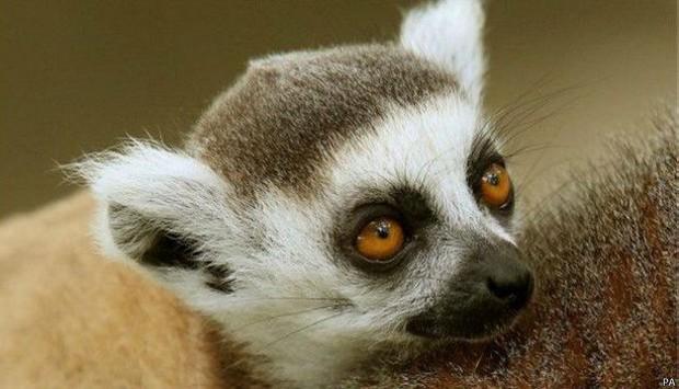 94% dos lêmures estão sob ameaça  (Foto: PA)