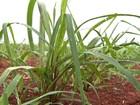 Mercado de sementes de forrageiras está mais enxuto e segmentado