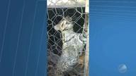 Jaguatirica é resgatada após ficar presa em galinheiro em Uibaí