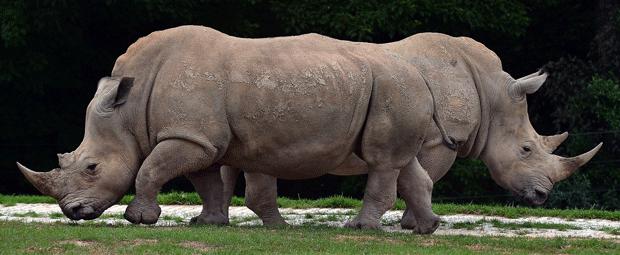 Resultado de imagem para foto de um rinoceronte