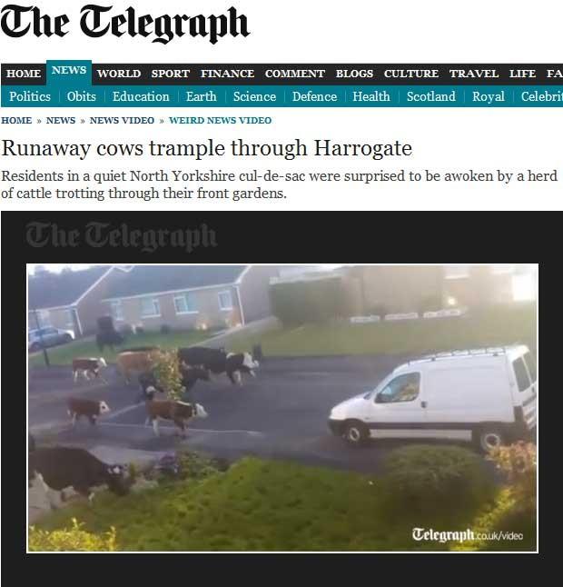 Reportagem do 'Telegraph' mostra vídeo das vacas passando pela rua (Foto: Reprodução)