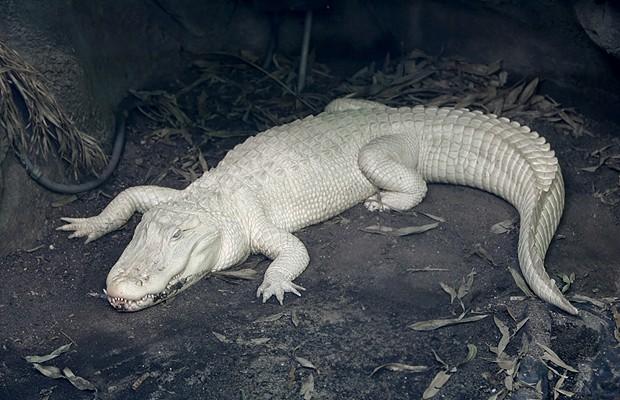 Crocodilo albino: é uma espécie rara. O Zoológico de Crocodilos Protivin, da República Tcheca, é o único a ter dois exemplares do animal (Foto: Shutterstock)