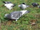 Cidade austríaca dá anticoncepcional a pombos e reduz população de aves