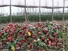 Com preço desvalorizado, produtores rurais jogam fora o pimentão