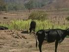 Seca no ES afeta agropecuária e produção cai 60% em Cachoeiro