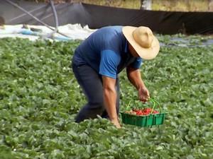 Morango, Estiva, produção, Pouso Alegre, Simpósio (Foto: Arquivo/ Reprodução EPTV)