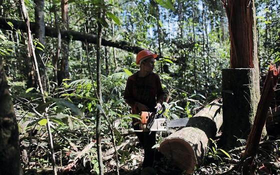 Corte iliegal dentro de Jamanxim.A floresta pode perder metade da área oficialmente conservada para retirada sustentável de madeira (Foto:  Nacho Doce/Reuters)