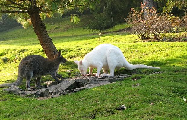Canguru albino: a chance do animal nascer todo branco é de uma em 20 mil (Foto: Shutterstock)