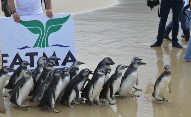 Pinguins foram soltos na praia de Moçambique, em Florianópolis (Foto: Anne Caroline Anderson/Divulgação)