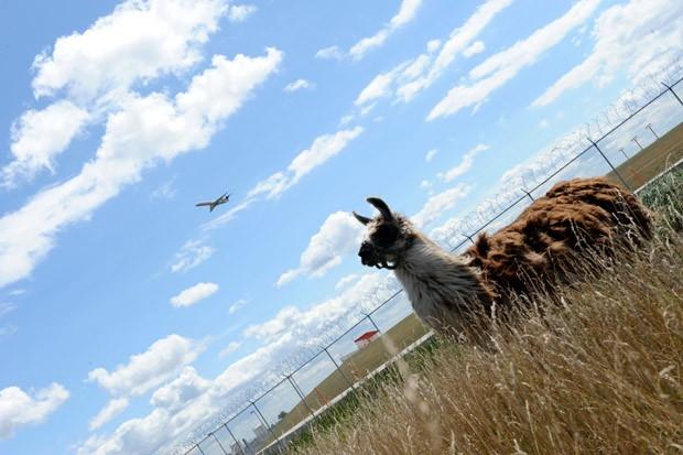 aeroporto - [Internacional] Aeroporto de Chicago passa a usar lhamas para manter grama aparada Lhama