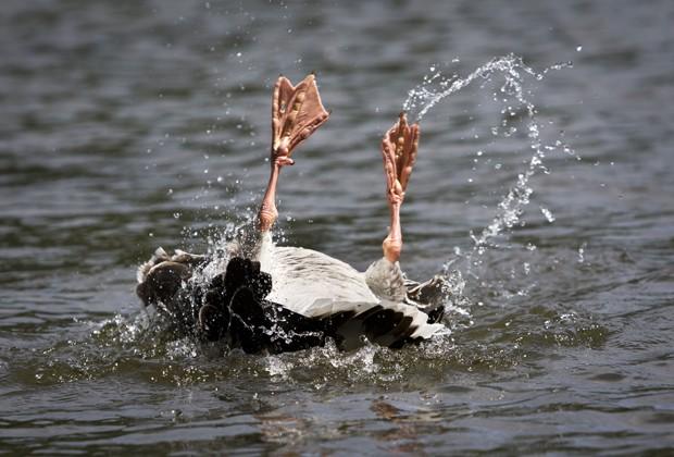 Um ganso foi fotografado 'nadando' de costas em um lago em um parque de Frankfurt am Main, na Alemanha, no domingo (16) (Foto: Frank Rumpenhorst/AFP)