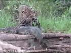Guia de turismo filma onça atacando jacaré em rio no Pantanal; veja vídeo