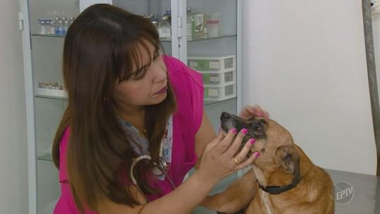 Cães infectados por leishmaniose podem não desenvolver a doença, mas representam risco; ENTENDA