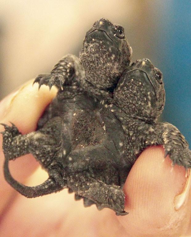 Tartaruga de duas cabeças nasceu em criadouro no Arkansas (Foto: Sarah Morris/AP)