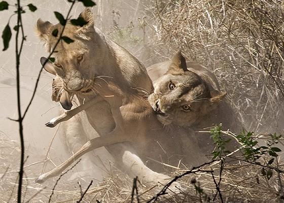 Duas leoas são as primeiras a abocanhar um jovem antílope que se separou de sua manada  (Foto: © Haroldo Castro/ÉPOCA)