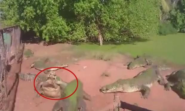 'Crocodilo canibal' arrancou pata de rival em zoológico na Austrália (Foto: Reprodução/Facebook/Fortafy)