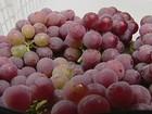 São Miguel Arcanjo, SP, prevê aumento de 30% na safra de uva