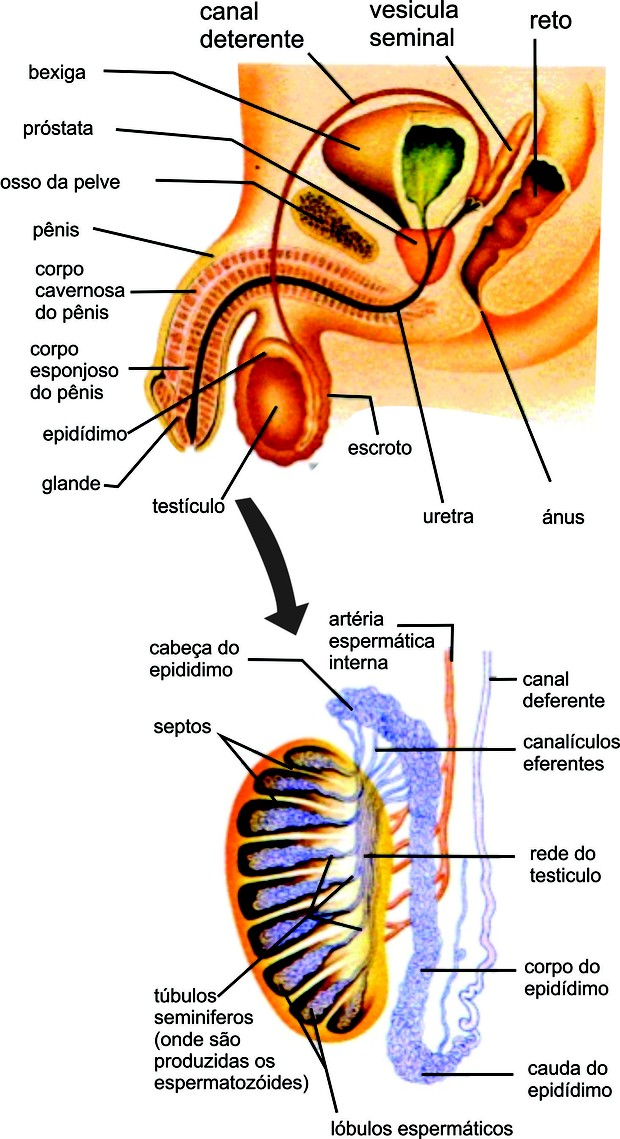 Sistema genital masculino (Foto: Reprodução/Colégio Qi)