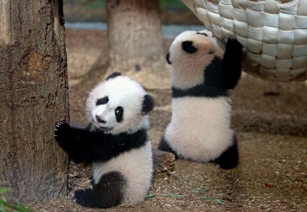 Gêmeas 'Mei Lun' (esquerda) e 'Mei Huan' nasceram em julho (Foto: Jason Getz/Atlanta Journal-Constitution/AP)
