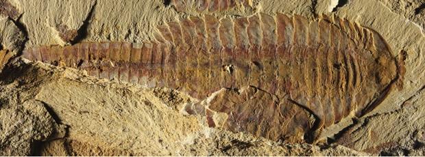 Foto mostra fóssil de 7,6 cm encontrado em sedimentos que datam do Período Cambriano, há 520 milhões de anos  (Foto: Reuters/Xiaoya Ma)